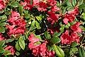 Rhododendron repens 'Bad Eilsen' J1.JPG