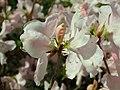 Rhododendron schlippenbachii 2019-04-20 1691.jpg