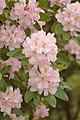 Rhododendron x 'Caroline' Flowers.jpg