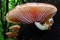 Rhodotus palmatus-47800-cro.jpg