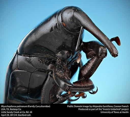 escarabajo Rhynchophorus palmarum