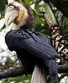 Rhyticeros undulatus -Taman Safari, West Java, Indonesia -male-8a.jpg