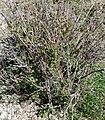 Ribes aureum var aureum 1.jpg