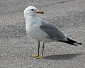 Ring-billed Gull (15248816753).jpg