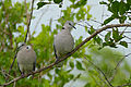 Ring-necked Doves (Streptopelia capicola) (16275877169).jpg