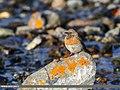 Robin Accentor (Prunella rubeculoides) (38449046532).jpg