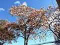 Roble Sabana (Tabebuia rosea).jpg