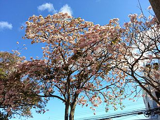 Tabebuia rosea - Tree in bloom