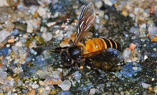Bộ sưu tập Côn trùng - Page 33 320px-Rock_Honeybee_%28Apis_dorsata%29_%288730122355%29
