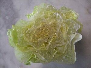 Romaine lettuce - Romaine lettuce heart's cross-section