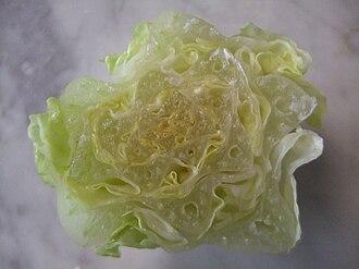 Romaine lettuce - Cross section of a heart of romaine lettuce