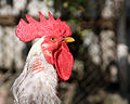 Rooster with plucked neck (5015).jpg