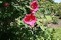 Rosa-moyesii-flower.JPG