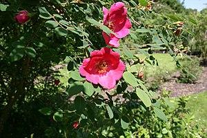 Rosa moyesii - Image: Rosa moyesii flower