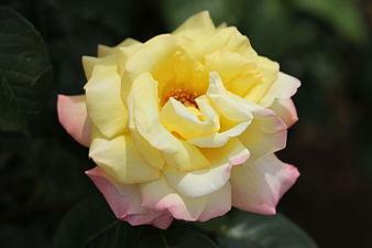 Rosa 'Peace' 1945.jpg