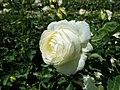 Rosa Chopin 2019-07-11 2812.jpg