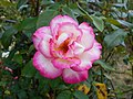 Rosa Handel 2018-07-10 5966.jpg