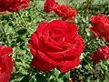 Rosa Mr Lincoln 2019-07-11 2833.jpg