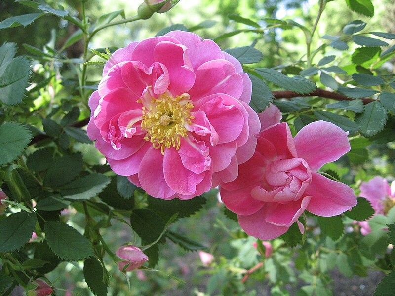 File:Rosa californica 'Plena'.JPG