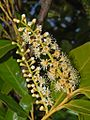 Rosaceae - Prunus laurocerasus (3).JPG