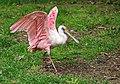 Rosalöffler im Weltvogelpark Walsrode 2H1A8821WI.jpg