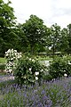 Rosarium Baden Doblhoffpark Gartenanlagen 10.jpg