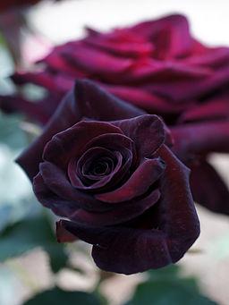 Rose, Black Baccara, バラ, ブラック バカラ, (8105317802)