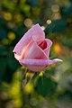 Rose, Michele Meilland - Flickr - nekonomania (2).jpg