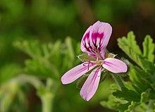 цвет швалера, Pelargonium graveolens