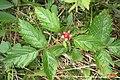 Rubus saxatilis (Ehrwald) (24392493700).jpg