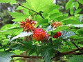 Rubus spectabilis pfly2.jpg