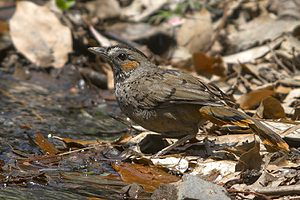 Rufous-chinned laughingthrush - From Naina Devi Himalayan Bird Conservation Reserve, Uttarakhand, India