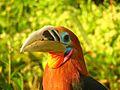 Rufous-necked Hornbill Namdapha.jpg