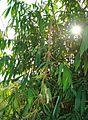 Rumpun pohon bambu (6).JPG