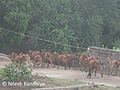 Running Cow at Girnar.jpg