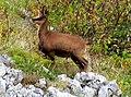 Rupicapra pyrenaica Picos.jpg