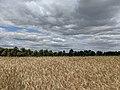 Rye field near Poznan-Morasko.jpg