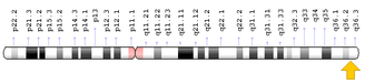 Sonic hedgehog -  SHH gene is located on the long (q) arm of chromosome 7 at position 36.