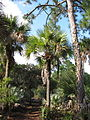Sabal palmetto 002 by Scott Zona.jpg