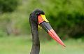 Saddle-billed Stork (Ephippiorhynchus senegalensis) male (16765493515).jpg