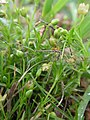 Sagina procumbens inflorescence (08).jpg