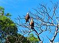 Sahamalaza Madagascan fish eagle.jpg