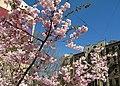 Saint Petersburg. Chinese Garden. Sakura tree2014 19.jpg