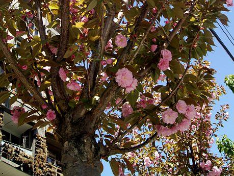 Sakura on Moskovyan street, Yerevan (1).jpg