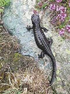 Als Salamander werden Vertrete