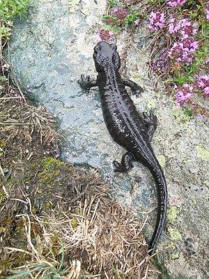 Lanzas Alpensalamander (Salamandra lanzai)