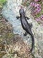 Salamandra lanzai (Franco Andreone).jpeg