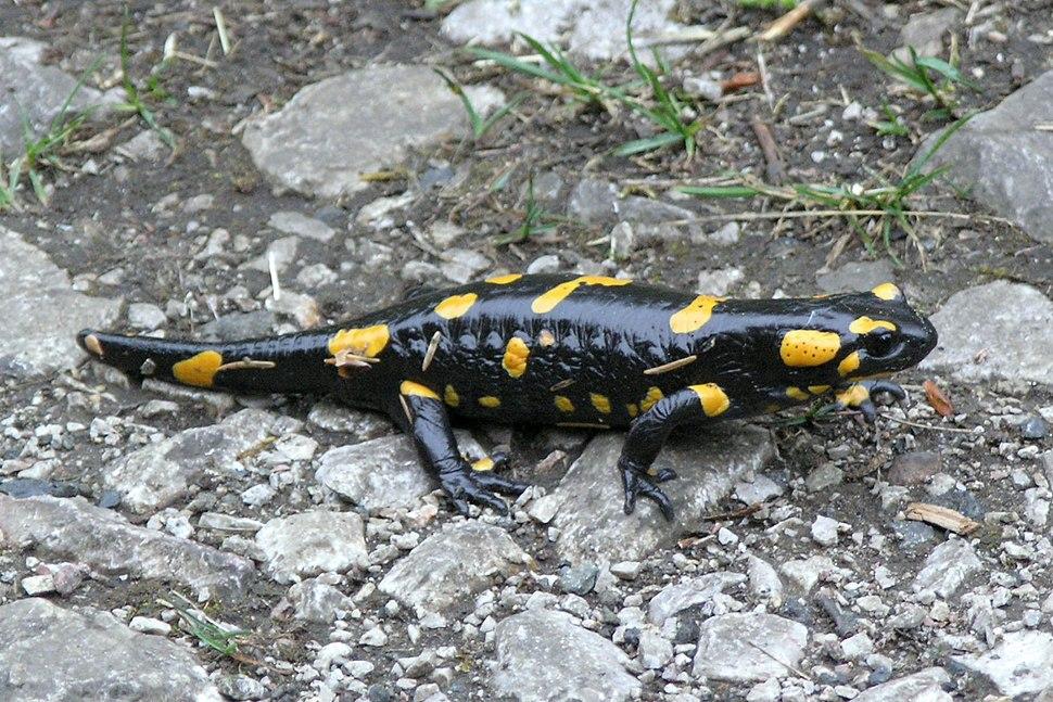 Salamandra salamandra 11