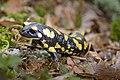 Salamandrasauceda.jpg