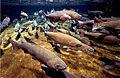 Salmon at Hanford Site.jpg